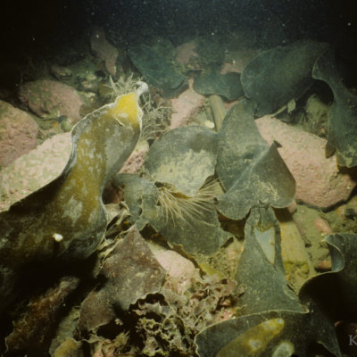 Sea kelp in Alaska.  Photo by: Ken Dunton